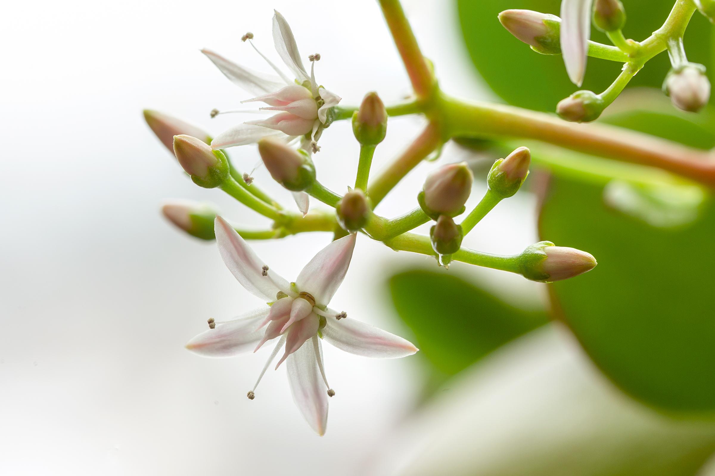 Pfennigbaum Blüte
