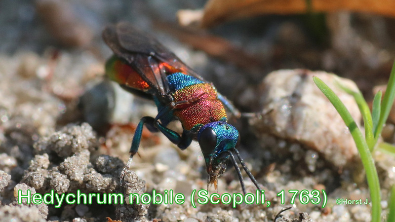 Hedychrum nobile (Scopoli, 1763)