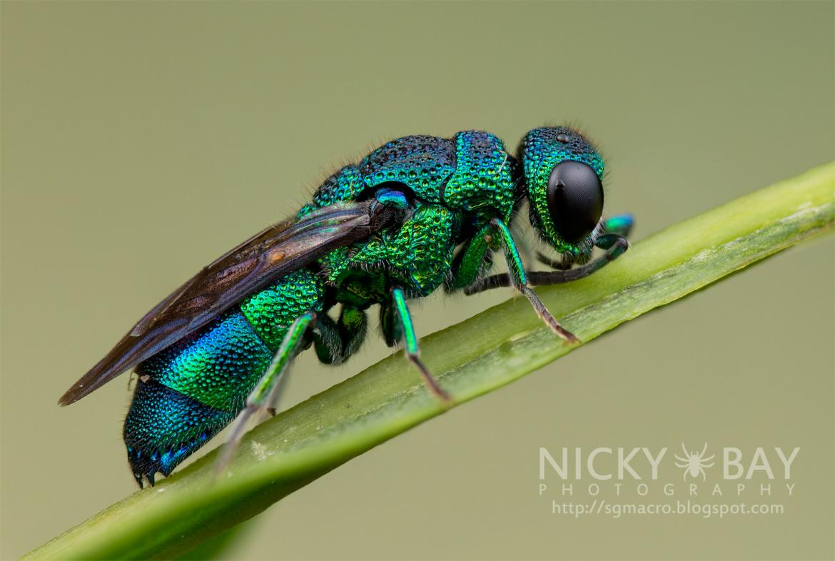 Cuckoo Wasp (Chrysididae) by Nicky Bay http://sgmacro.blogspot.com