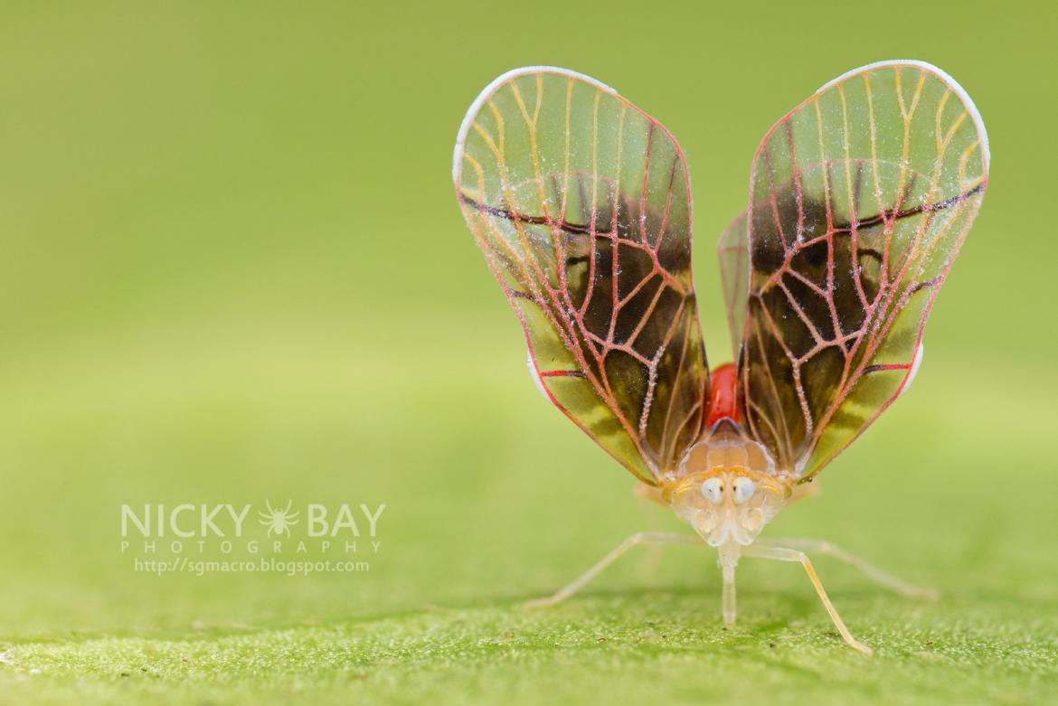 Derbid Planthopper (Derbidae) by Nicky Bay http://sgmacro.blogspot.com