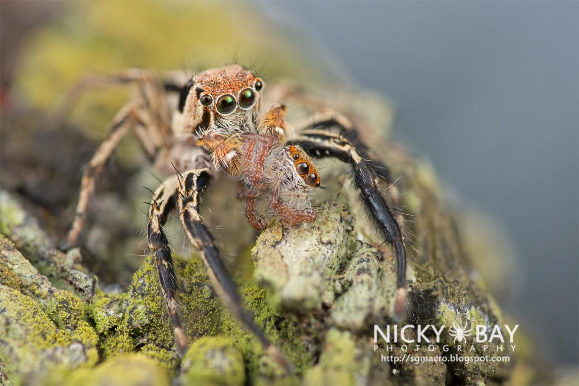 Jumping Spider (Salticidae) by Nicky Bay http://sgmacro.blogspot.com